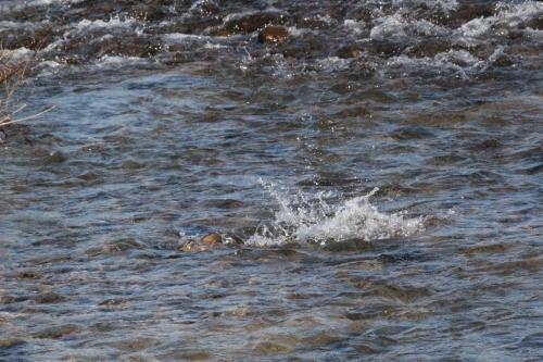 木戸川を遡上する鮭(2013年11月23日)