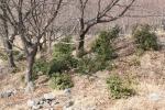 旧松木村のアセビ(2016年2月27日)
