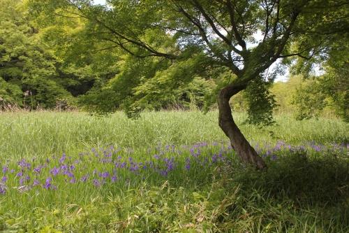 石神井公園(2020年5月10日、青い花はカキツバタ)